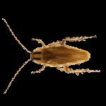 Tipos de cucaracha en España-Cucaracha germánica | Exprodim
