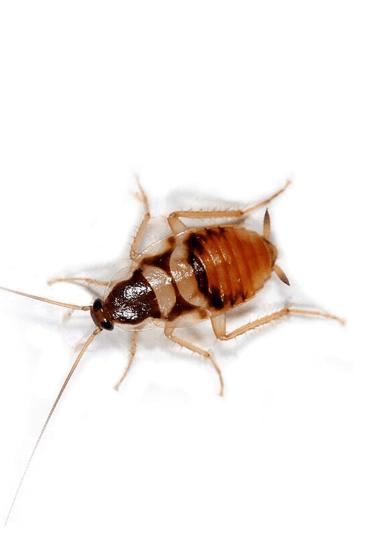 Tipo de cucaracha en España (Supella Longipalpa) | Exprodim)