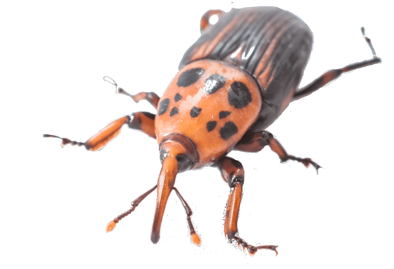 Tratamientos en parques y jardines. Escarabajo picudo | Exprodim