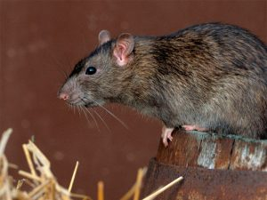Eliminar ratas. Rata en tronco | Exprodim