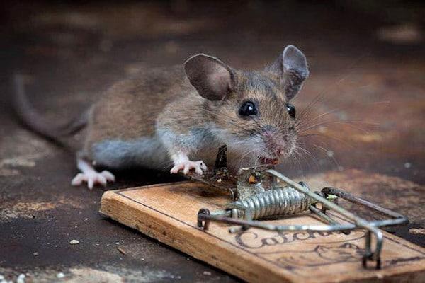 Eliminar ratas. Ratón en ratonera | Exprodim