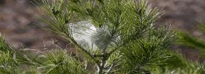 nido procesionaria del pino | Exprodim